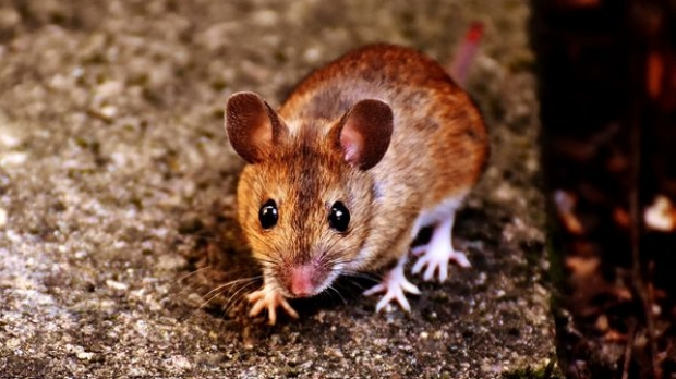 Scientists know how to make mice angry—but mice know how to keep their cool