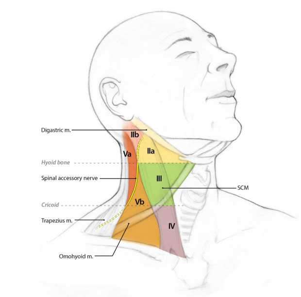 lymph nodes in the neck