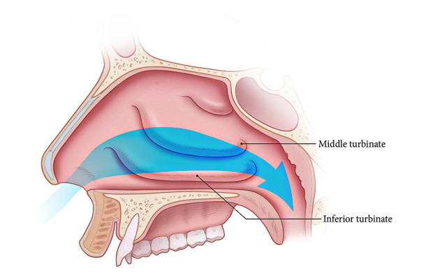 Normal Nasal Airflow
