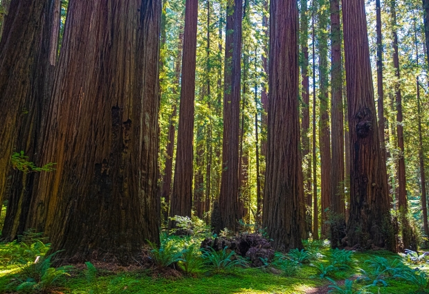A photo of redwood trees