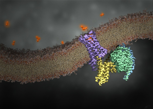 Rendering of GPCR in membrane. Graphic Design by Makaia M. Papasergi-Scott, with use of cryoEM map EMD-0339.