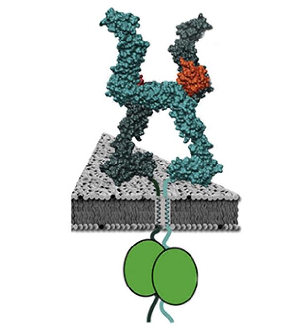 leptin receptor ECD