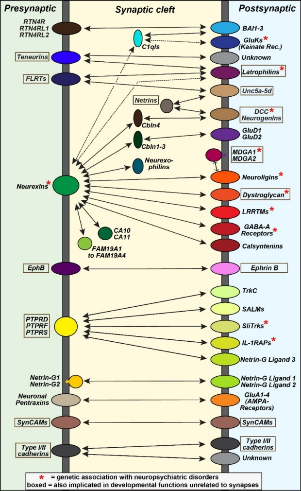 Trans-synaptic network