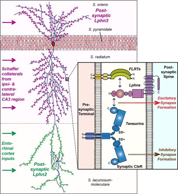 Lphn-teneurin & -FLRT interactions