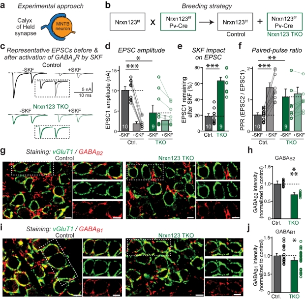 A synaptic circuit required for acquisition but not recall of social transmission of food preference