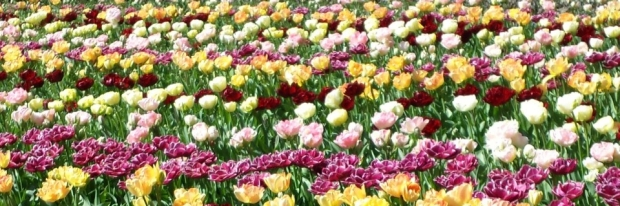 Tulips in April in Holland... Another way to lift the spirits and feel positive