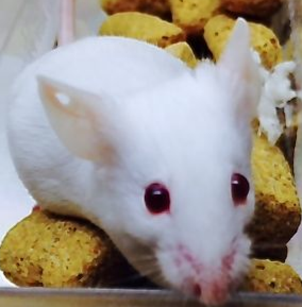 Conventional Transgenic Mouse Line
