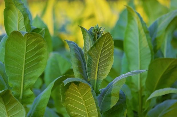 tobacco-plant
