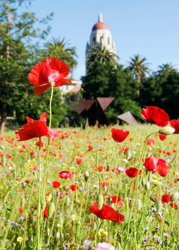 Stanford Hoover Tower and red poppies
