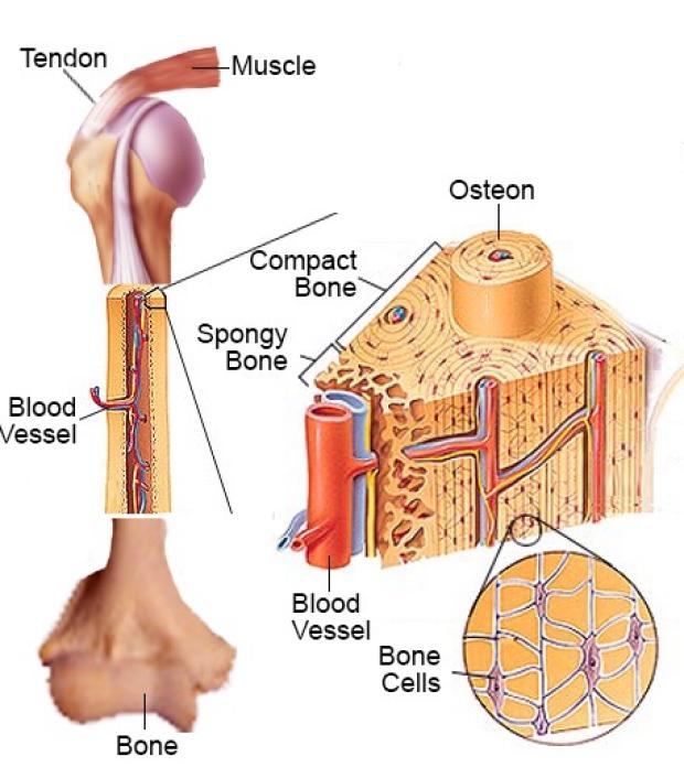 Bone and vessel graphic