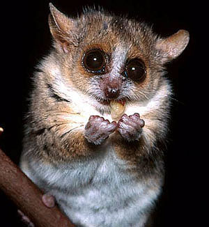 Madagascar gray mouse lemur