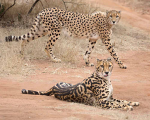 How the cheetah got its stripes: A genetic tale by ...