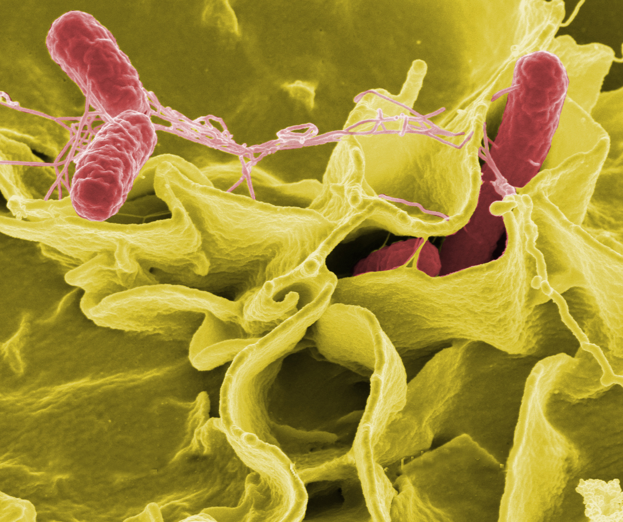 Synchronising Salmonella's infection strategy | Food Safety Centre ...