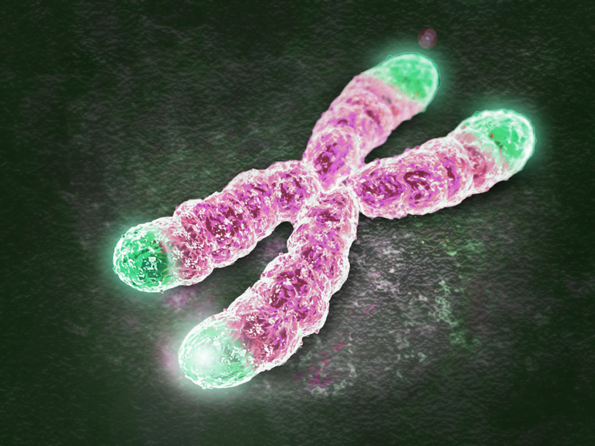 Telomere extension turns back aging clock in cultured human cells, study finds