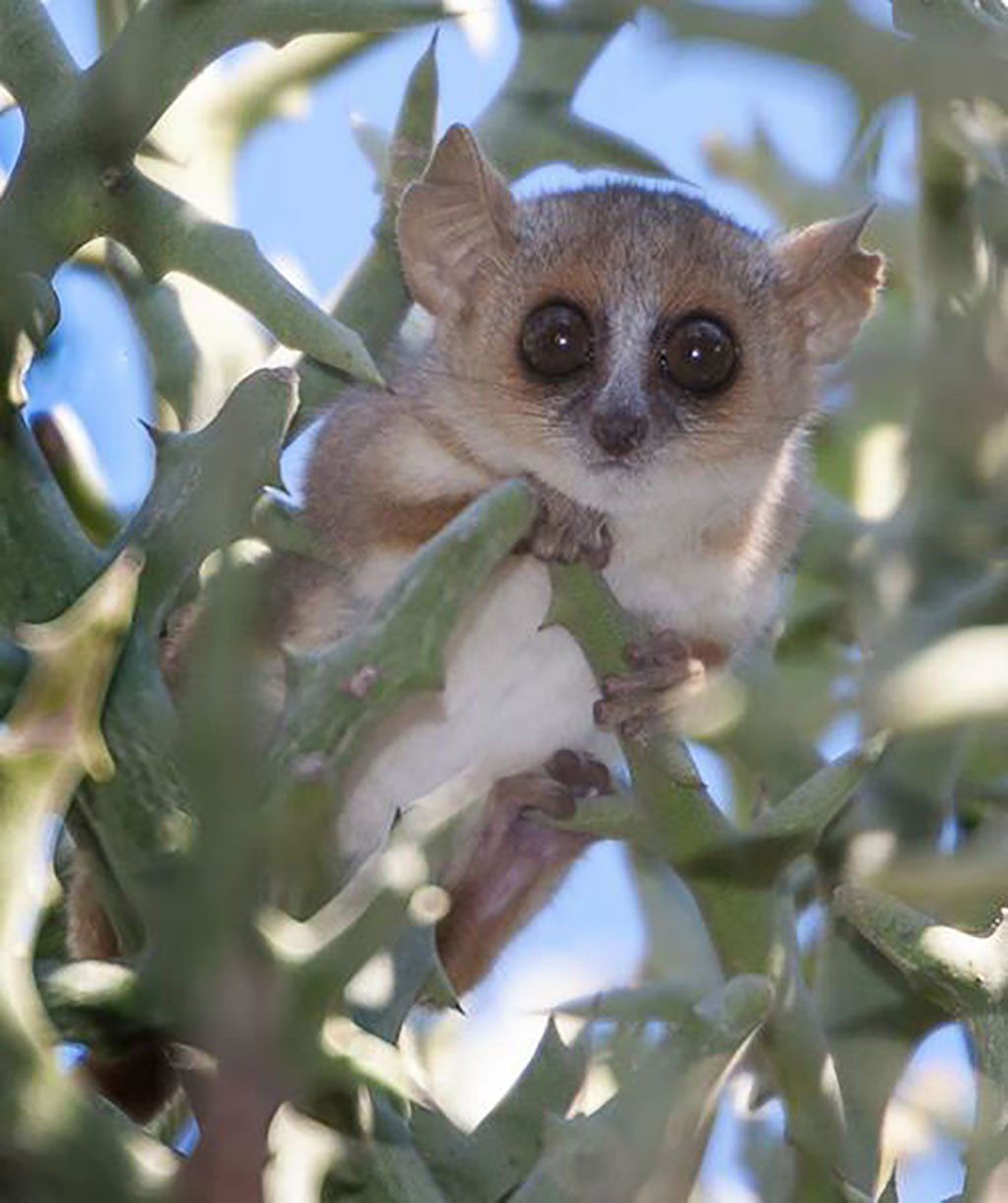 Mouse lemur could serve as ideal model for human disease ...