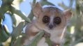 Mouse lemur could serve as ideal model for human disease