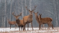 Genes behind rapid deer antler growth, hardening identified