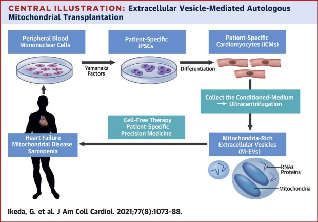 graphic of extracellular vesicle-mediated autologour mitochondrial transplantation