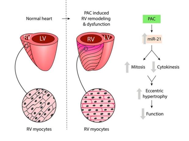 illustration of heart cells