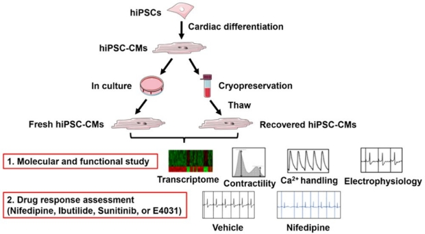 graphic of patient-derived heart cells subjected to cryopreservation and recovery