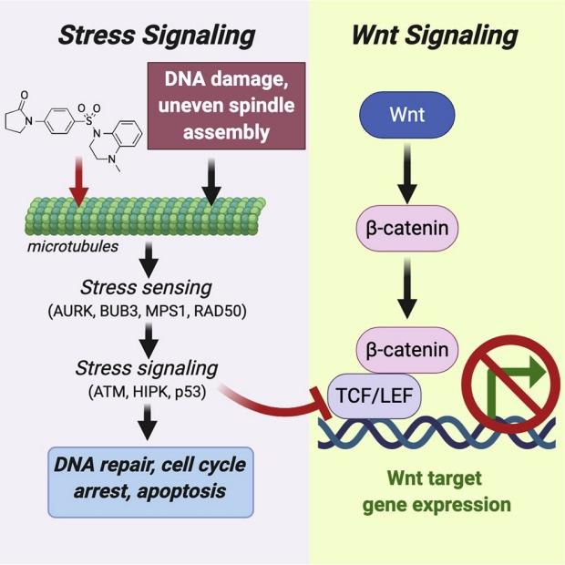 graphic illustrating stress signaling and Wnt signaling