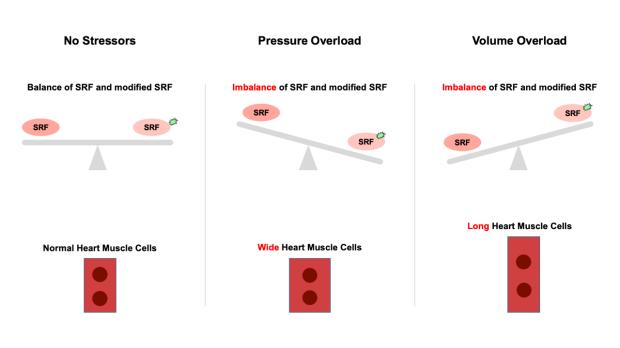 illustration showing how SRF regulators work