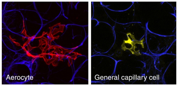 image of two new lung cells