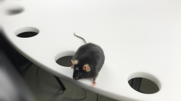 Mouse in Barnes Maze