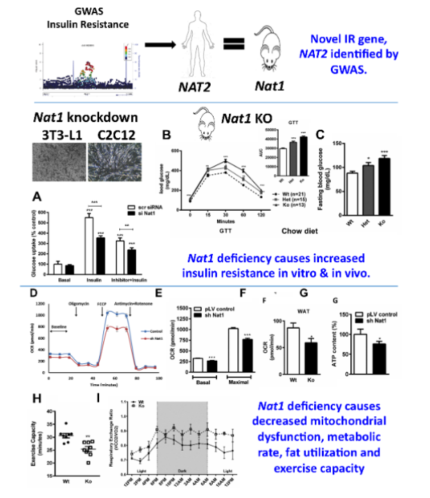 Nat1 deficiency leads to mitochondrial function