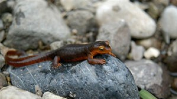 Early work with newt toxin paves way for research into locating pain