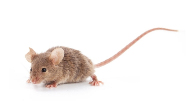 Of mice and men: Researchers compare mammals' genomes to aid human clinical research