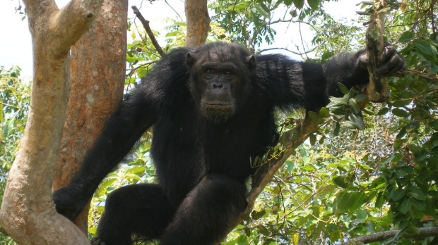 Wild chimps teach scientists about gene that encodes HIV-fighting protein