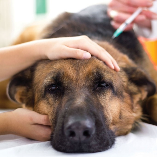 New immunotherapy possible for canine cancer