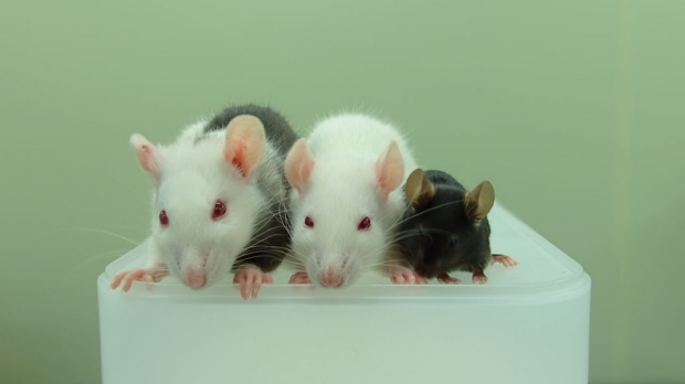 Rat-grown pancreases help save diabetic mice