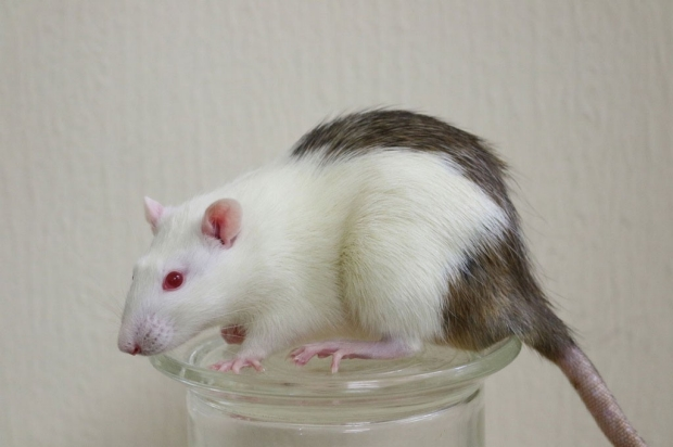 White rat with black patches