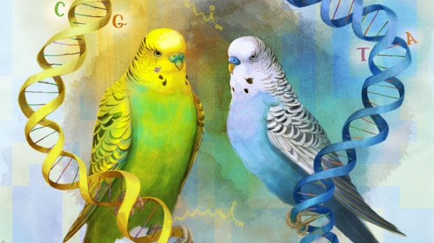 How parakeet feathers get their colors