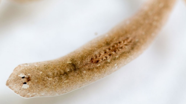 Seeking secrets of worm's regenerative power