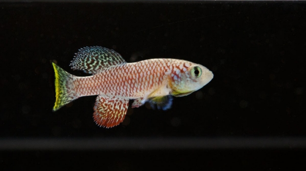 Clues to how tiny fish 'pauses' life