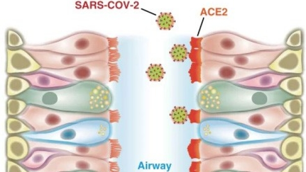 Coronavirus likely first infects upper airway cells