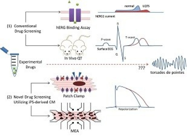 Cardiac iPSCs for Drug Screening & Discovery